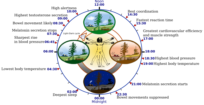 Biological_clock_human.svg